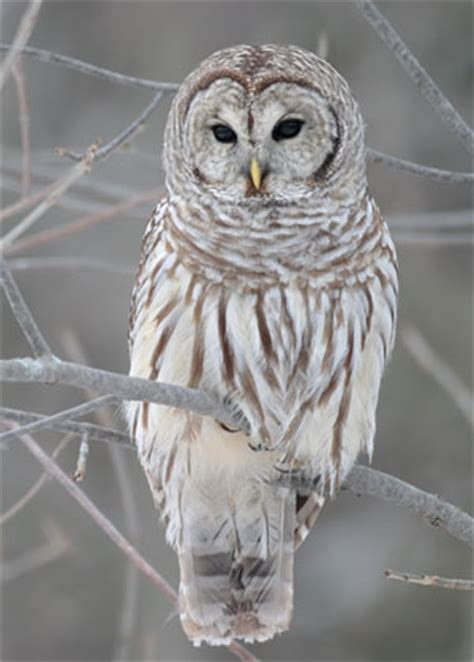 Barred Owl - Strix varia   The Aviary at Owls
