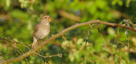 Nightingale Song | Free Sound Effects | Animal Sounds