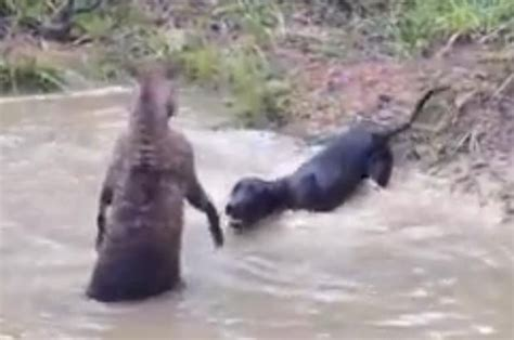 WATCH: The horror moment a kangaroo tries to DROWN a dog