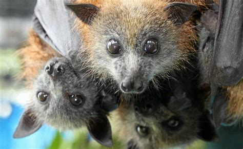 Conservation Council aghast at Newman's flying fox stance