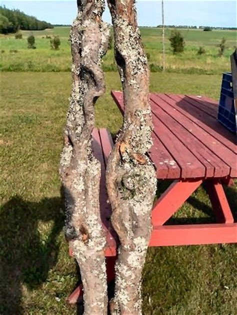 Before the bark is removed   My Diamond Willow Walking