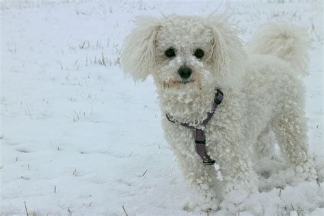 The 5 Cutest Hypoallergenic Dogs in the History of the World
